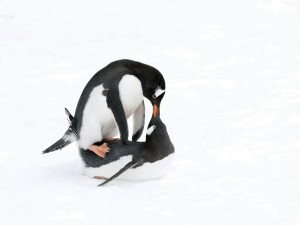 A devoted Adelie penguin couple making love