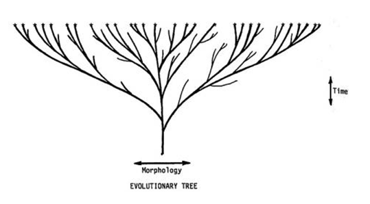 the root of the tree at the bottom of the diagram is luca  the tips of the  branches at the top of the diagram are the species that exist today