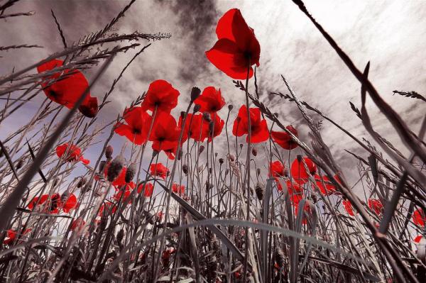 last_poppies-806867